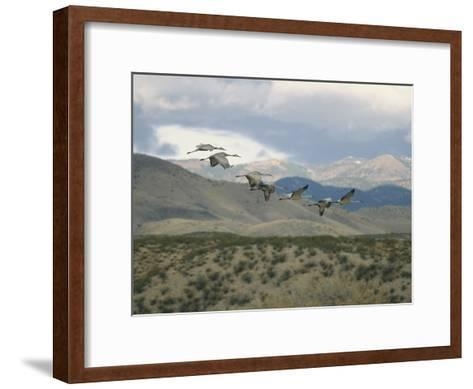 Flock of Sandhill Cranes in Flight over a Hilly Landscape-Marc Moritsch-Framed Art Print