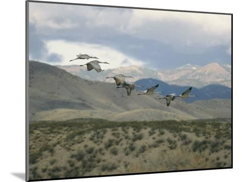Flock of Sandhill Cranes in Flight over a Hilly Landscape-Marc Moritsch-Mounted Photographic Print