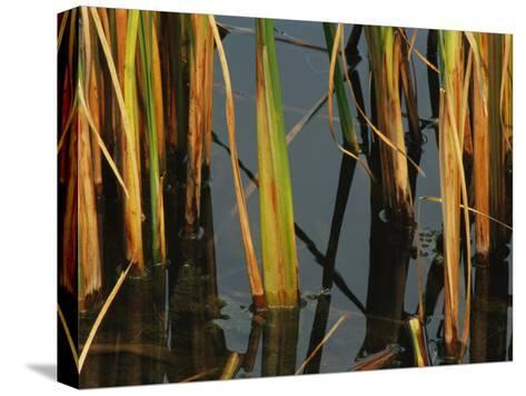 Aquatic Grass Emerges from a Pond at the Chicago Botanic Garden-Paul Damien-Stretched Canvas Print