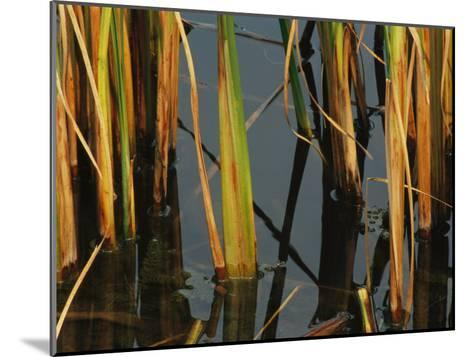 Aquatic Grass Emerges from a Pond at the Chicago Botanic Garden-Paul Damien-Mounted Photographic Print