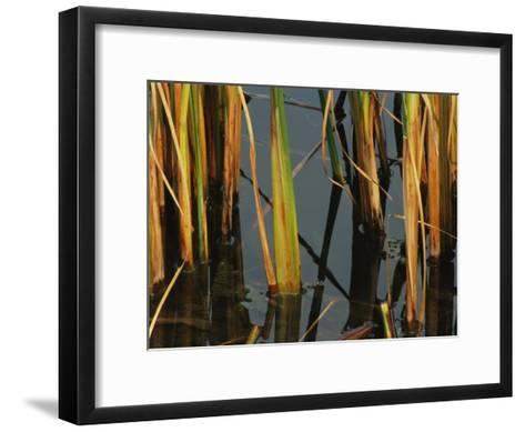 Aquatic Grass Emerges from a Pond at the Chicago Botanic Garden-Paul Damien-Framed Art Print