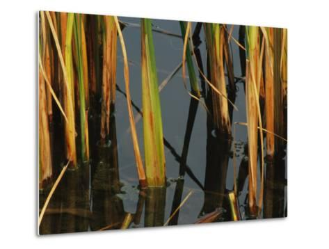 Aquatic Grass Emerges from a Pond at the Chicago Botanic Garden-Paul Damien-Metal Print