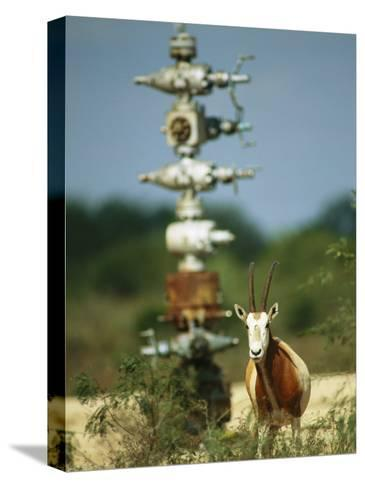 A Scimitar Horned Oryx Next to an Oil and Gas Well-Joel Sartore-Stretched Canvas Print