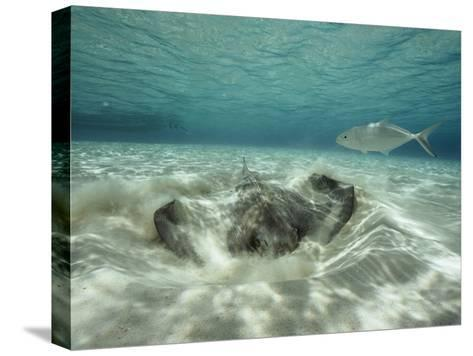 A Southern Sting Ray Burrowing into Sand as a Fish Swims Nearby-Bill Curtsinger-Stretched Canvas Print