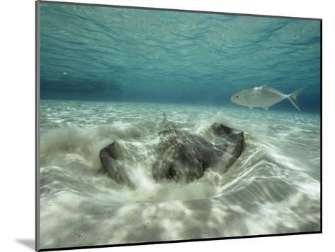 A Southern Sting Ray Burrowing into Sand as a Fish Swims Nearby-Bill Curtsinger-Mounted Photographic Print