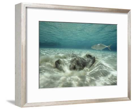A Southern Sting Ray Burrowing into Sand as a Fish Swims Nearby-Bill Curtsinger-Framed Art Print