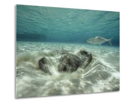 A Southern Sting Ray Burrowing into Sand as a Fish Swims Nearby-Bill Curtsinger-Metal Print