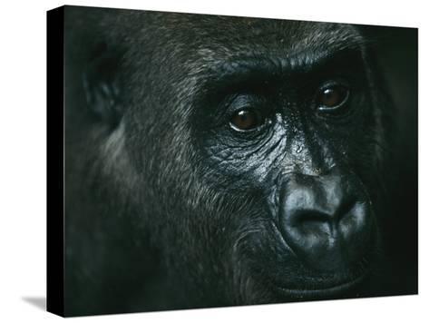Portrait of a Gorilla-Michael Nichols-Stretched Canvas Print