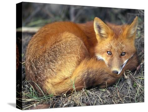 Red Fox-Joel Sartore-Stretched Canvas Print
