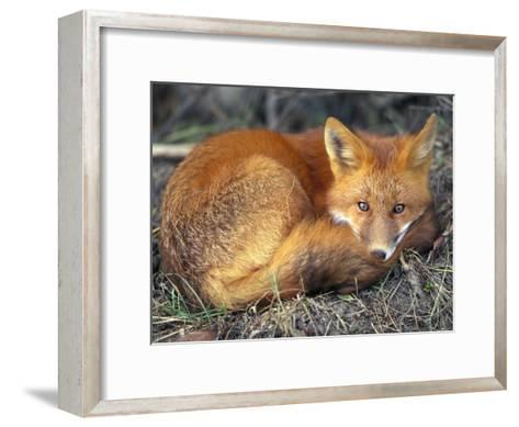 Red Fox-Joel Sartore-Framed Art Print