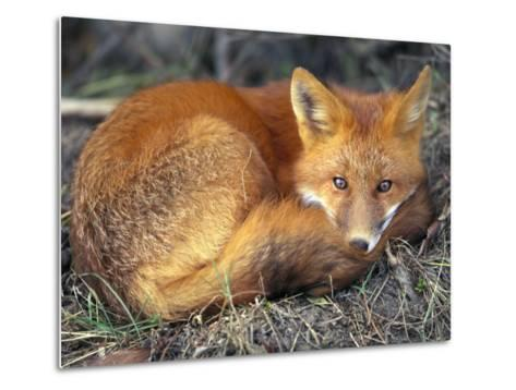 Red Fox-Joel Sartore-Metal Print