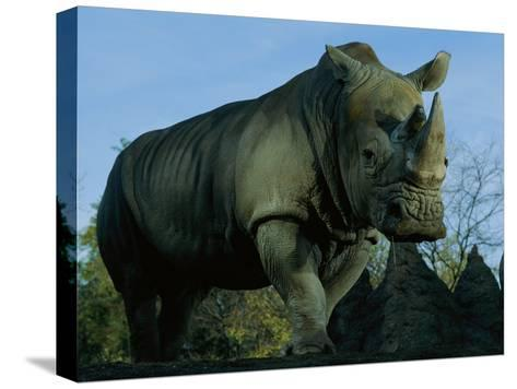 A Southern White Rhino at the San Diego Wild Animal Park-Michael Nichols-Stretched Canvas Print