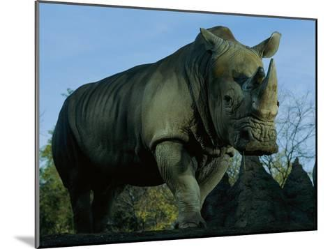 A Southern White Rhino at the San Diego Wild Animal Park-Michael Nichols-Mounted Photographic Print