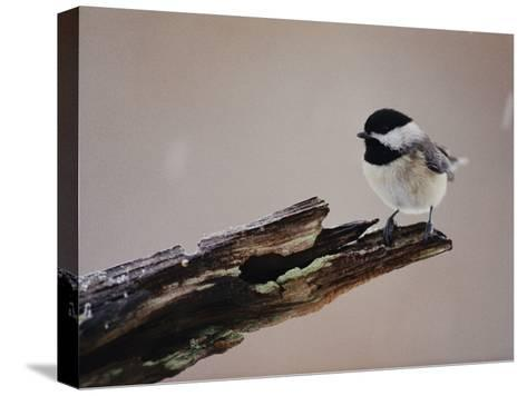 A Black-Capped Chickadee-George F^ Mobley-Stretched Canvas Print