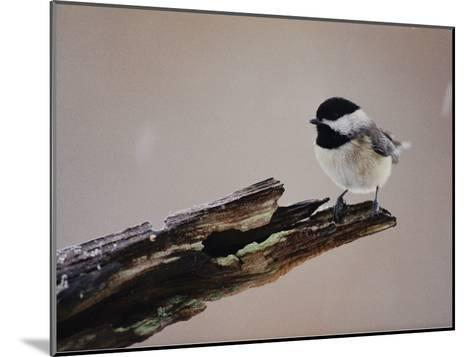 A Black-Capped Chickadee-George F^ Mobley-Mounted Photographic Print