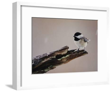 A Black-Capped Chickadee-George F^ Mobley-Framed Art Print