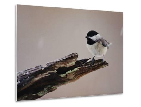 A Black-Capped Chickadee-George F^ Mobley-Metal Print