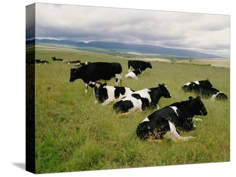 Holstein-Friesian Dairy Cows-George F^ Mobley-Stretched Canvas Print