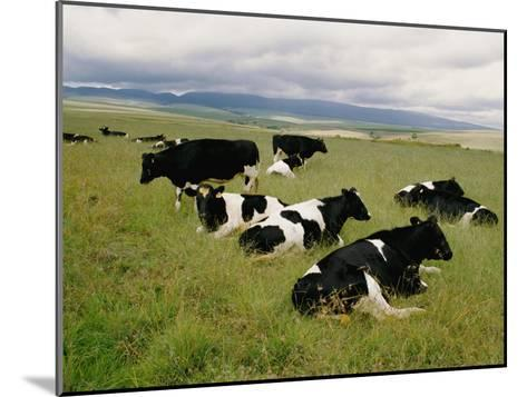 Holstein-Friesian Dairy Cows-George F^ Mobley-Mounted Photographic Print