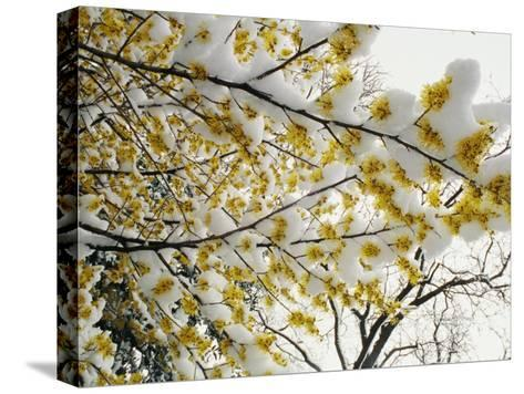 Fluffy Snow Clings to the Yellow Branches of a Flowering Forsythia Bush-Stephen St^ John-Stretched Canvas Print