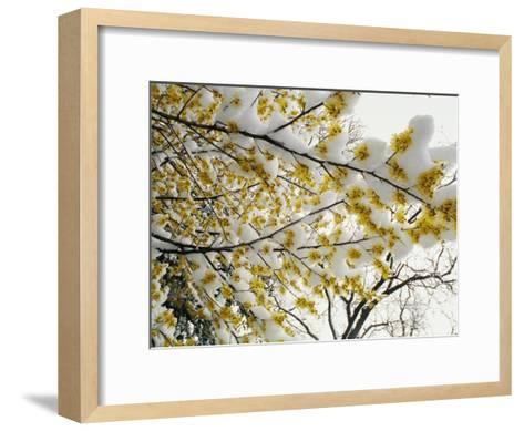 Fluffy Snow Clings to the Yellow Branches of a Flowering Forsythia Bush-Stephen St^ John-Framed Art Print