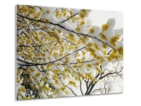 Fluffy Snow Clings to the Yellow Branches of a Flowering Forsythia Bush-Stephen St^ John-Metal Print