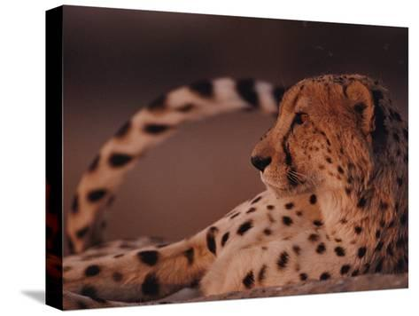 A Portrait of an African Cheetah Resting-Chris Johns-Stretched Canvas Print