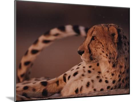 A Portrait of an African Cheetah Resting-Chris Johns-Mounted Photographic Print