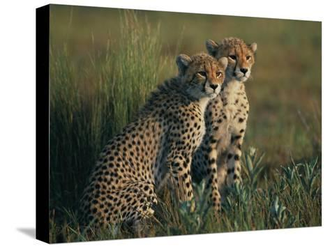 A Portrait of a Pair of Juvenile African Cheetahs-Chris Johns-Stretched Canvas Print