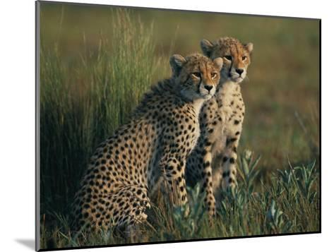 A Portrait of a Pair of Juvenile African Cheetahs-Chris Johns-Mounted Photographic Print