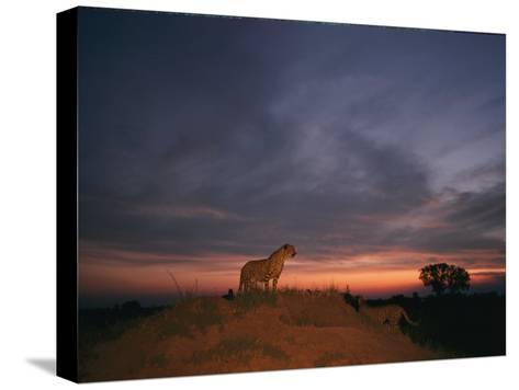 An African Cheetah Stands Majestically on a Large Mound in Front of a Beautiful Sunset-Chris Johns-Stretched Canvas Print
