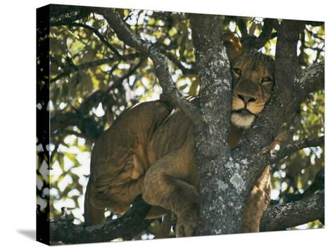 Lioness Resting in the Crotch of a Tree-Chris Johns-Stretched Canvas Print