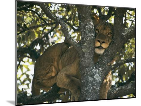 Lioness Resting in the Crotch of a Tree-Chris Johns-Mounted Photographic Print
