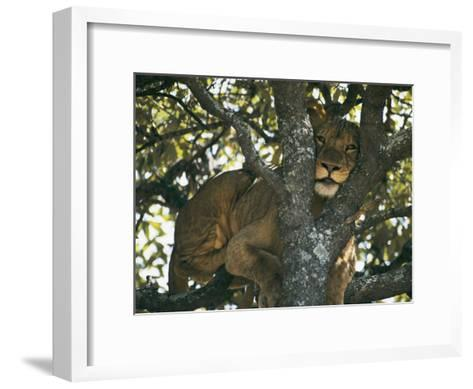 Lioness Resting in the Crotch of a Tree-Chris Johns-Framed Art Print