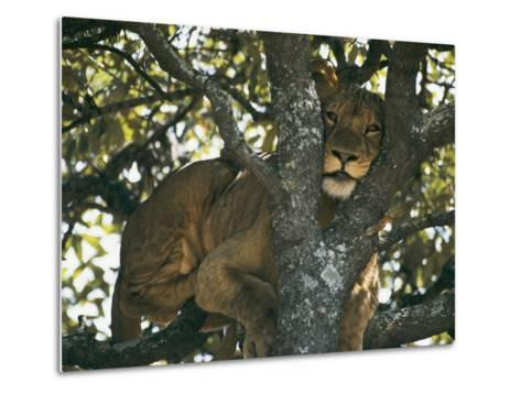 Lioness Resting in the Crotch of a Tree-Chris Johns-Metal Print