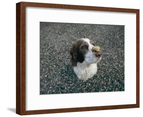 The Head of a Dog Balancing a Dog Biscuit Upon its Nose-Joel Sartore-Framed Art Print