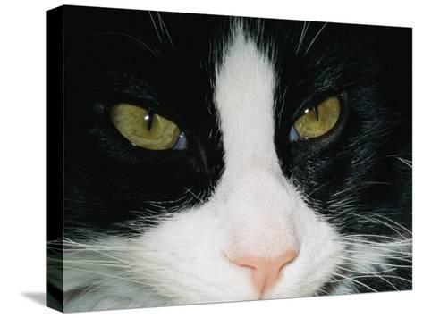 Close View of a Black and White Tabby Cat-Brian Gordon Green-Stretched Canvas Print