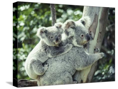 A Koala Bear Hugs a Tree While Her Baby Clings to Her Back-Anne Keiser-Stretched Canvas Print
