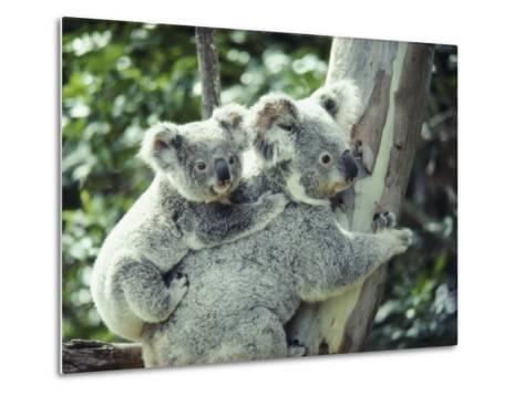 A Koala Bear Hugs a Tree While Her Baby Clings to Her Back-Anne Keiser-Metal Print