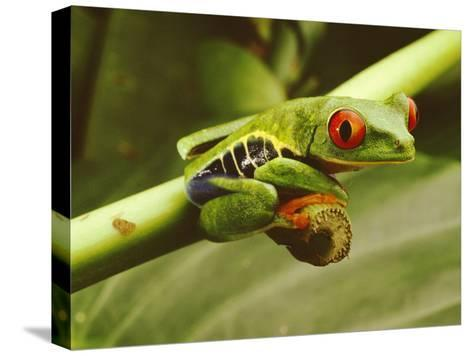 A Red-Eyed Frog Perches on a Stem of a Plant-Steve Winter-Stretched Canvas Print