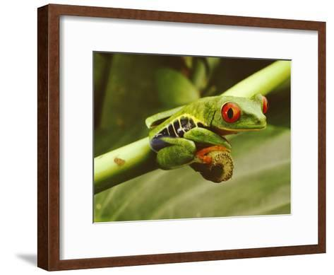 A Red-Eyed Frog Perches on a Stem of a Plant-Steve Winter-Framed Art Print