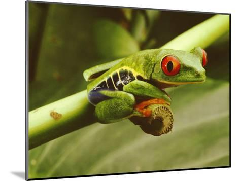 A Red-Eyed Frog Perches on a Stem of a Plant-Steve Winter-Mounted Photographic Print