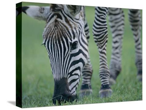 Close View of a Grants Zebra Grazing-Joel Sartore-Stretched Canvas Print