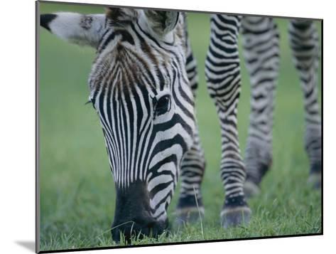 Close View of a Grants Zebra Grazing-Joel Sartore-Mounted Photographic Print
