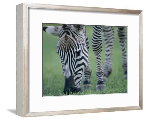 Close View of a Grants Zebra Grazing-Joel Sartore-Framed Art Print