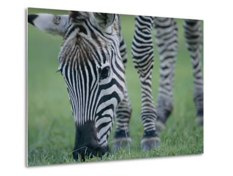 Close View of a Grants Zebra Grazing-Joel Sartore-Metal Print