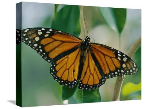 A Close View of a Intricately Patterned Monarch Butterfly-Joel Sartore-Stretched Canvas Print