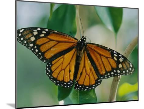 A Close View of a Intricately Patterned Monarch Butterfly-Joel Sartore-Mounted Photographic Print