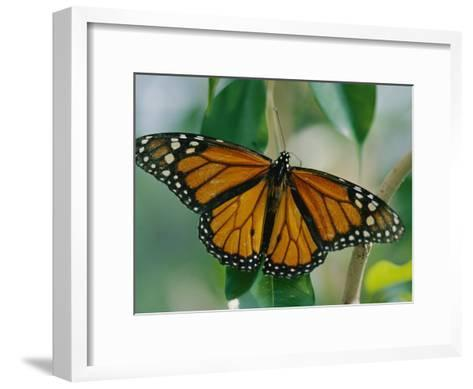 A Close View of a Intricately Patterned Monarch Butterfly-Joel Sartore-Framed Art Print