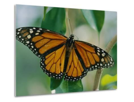A Close View of a Intricately Patterned Monarch Butterfly-Joel Sartore-Metal Print